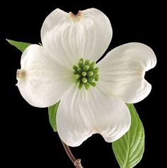 picture of a dogwood flower - Google Search