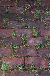 "Baking soda neutralizes the ph in the soil and nothing will grow there. I use baking soda in a 6"" wide area around all of the edges of my flower beds to keep the grass and weeds from growing into my beds. Just sprinkle it onto the soil so that it covers it lightly. I usually have to do this twice a year - spring and fall."