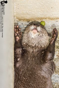 Otter's juggling ball has fallen behind his head -January 21, 2015