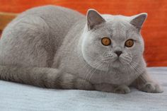 GolanCat - British Shorthair Cats - Lilac BSH