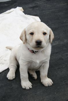 a baby of Labrador Retriever     Great training course to solve all your family puppy's behavior problems.
