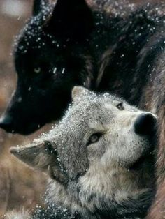 Wolf Companions part of The Pack. Beautiful Wolves, Beautiful Dogs, Animals Beautiful, Cute Animals, Wolves In Love, Wolf Photos, Wolf Pictures, Wolf World, Wolf Spirit Animal
