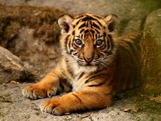 Sumatran Tiger Cub. | Flickr - Photo Sharing!