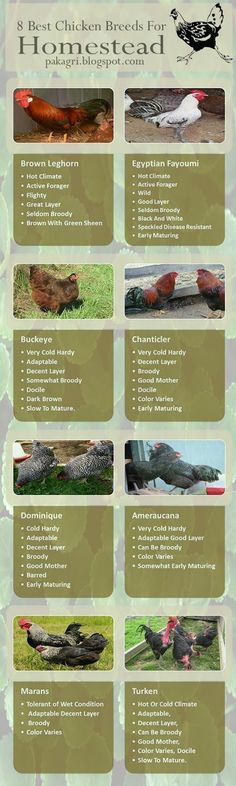 8 of the best chickens for Homesteading.