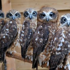 Southern Boobook Cross Eyed Owls