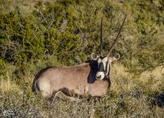 Gemsbok. Northern Cape, South Africa