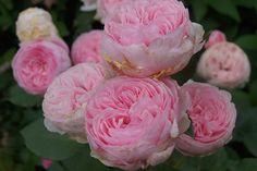 Роза Geoff Hamilton, Austin