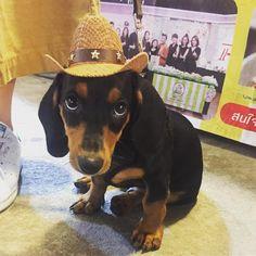Hey sherrifffff #dog #dogs #dogsofinstagram #doggie #puppy #puppiesofinstagram #puppyoftheday #dachshundsofinstagram #dachshund #dachshundpuppy #dachshunds #pet #petsofinstagram #play #playdog #dogplay #dogphotography #kid @dachshund_lovers_photos @dachshundloverspage @dachshundoftheday @dachshundsofinstagram #doxie @doxie._.ig @thedoxieworld #doxiesofinstagram