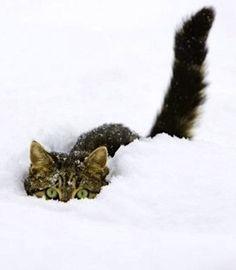 Gato escondido en la nieve
