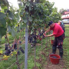 Der Startschuss zur diesjährigen Weinlese ist vor einigen Tagen gefallen... einige Impressionen unseres Teams bei der Lese des Pinot Noir Premium, der ab 2017 im Verkauf sein wird