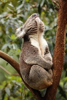 Vocal lips the secret to koala's boom box › News in Science (ABC Science)