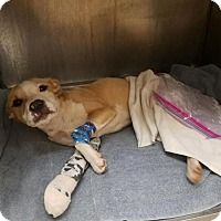 04/27/2017 ADOPT LIAM, Rescued puppy receiving treatment for broken limbs after being hit by a car, young medium male, 8-10 months old, unaltered American Bulldog/Pit Bull Terrier Mix Dog, sweet boy, good with all people and dogs, up for adoption once he has recovered in New York.