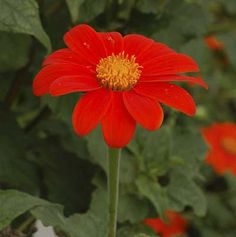 Mexican sunflower (Tithonia rotundiflora) can grow up to 6 feet with 3-inch bright red-orange blooms. Because flower stems are hollow, you'll need to use an especially sharp tool when cutting for arrangements. | Photo: Derek Ramsey GNU | thisoldhouse.com