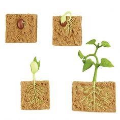Cycles de vie - La plante