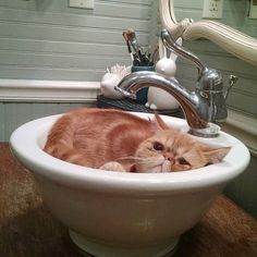 I felt I was being watched... Gasp!  Sir Pumpkin has started to chill in the sink in the morning. A perfect fit!  FYI these sinks look cool but DONT. You can't wash your face since the faucet is in the way.  #exoticshorthair #cat #cute #flatface #kitten #meow #pet #mreggs #catlover #sinkcat