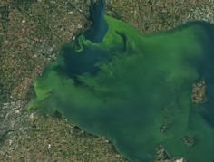 Fertilizers used in farming contain high amounts of nutrients, such as phosphorous, to help crops grow. But these same nutrients can cause unwanted plant growth and potentially harm ecosystems miles away if agricultural runoff flows into nearby rivers, lakes, or coastal waters. Plant Growth, Nasa, Coastal, Bloom, Earth, River, Plants, Plant, Rivers