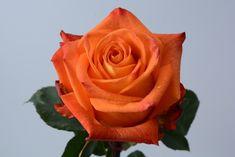 """""""X-Factor"""" rose   #xactproducts #colorful #style #instaflowes #flowerporn #flowerstagram #flowersofinstagram #floristsofinstagram #floristry #florist #flowershop #ihavethisthingwithflowers #floristlife #eventflowers #seasonalflowers #floraldesigner Seasonal Flowers, All Flowers, Floral Design, Roses, Colorful, Sweet, Plants, Style, Pink"""