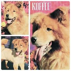 Dix Hills, NY - Chow Chow. Meet Koffee, a dog for adoption. http://www.adoptapet.com/pet/13288087-dix-hills-new-york-chow-chow