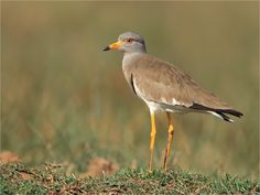 Grey-headed lapwing Bird The grey-headed lapwing is a lapwing species which breeds in northeast China and Japan. The mainland population winters in northern Southeast Asia from northeastern India to Cambodia. Wikipedia Scientific name: Vanellus cinereus Rank: Species Higher classification: Vanellus
