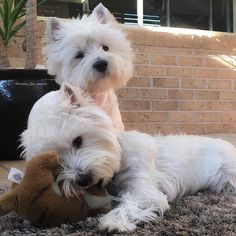 "5,913 Likes, 76 Comments - Emma & Eve❤️ (@emma_the_westie) on Instagram: ""Deep in thought! Our #mondayface"""