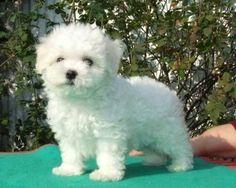 Dog breed: Bolognese