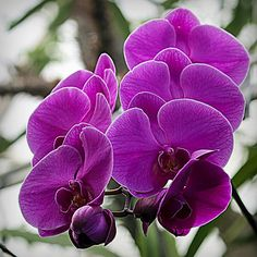 The Phalaenopsis or 'Moth Orchid' is the most common orchid due to its ease of production and the availability of blooming plants year-round. Phals are easily grown in the home and stay in bloom for a very long time. A mature phal will be in bloom much of the year with graceful inflorescences loaded with good-sized blooms. From pure whites to unusual spotted harlequins, Phalaenopsis are sure to please. Unlike many other orchids, Phalaenopsis can be repotted anytime.