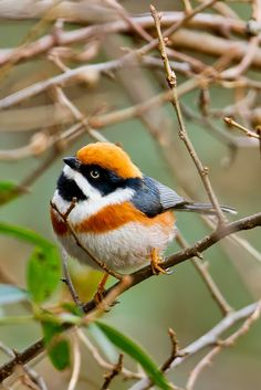 Black Throated Bushtit - The Black-throated Bushtit  also known as the Black-throated Tit, is a very small passerine bird in the family Aegithalidae.The Black-throated Bushtit is a small passerine, around 10.5 cm long and weighing 4-9 g. All subspecies have a medium length tail  a black throat &  black 'bandit mask' around the eye. The nominate race has a chestnut cap, breast band and flanks & dark grey back, wings and tail & a white belly.