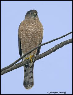 A Cooper's Hawk landed on our fence this morning!