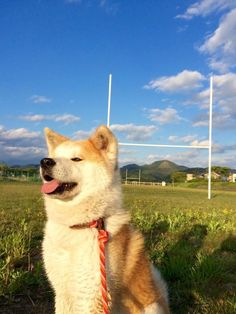 Japanese Dog Breeds, Japanese Dogs, All Dogs, Dogs And Puppies, Bear Attack, American Akita, Hachiko, Akita Dog, Pets 3