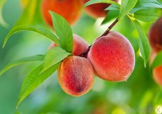 Three peaches a day keeps breast cancer away, in fact, it induces metastatic breast cancer cell death, says food science researcher Giuliana Noratto at Washington State University.