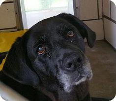 Lisbon, OH - Labrador Retriever Mix. Meet Isidora, a dog for adoption. http://www.adoptapet.com/pet/13282810-lisbon-ohio-labrador-retriever-mix