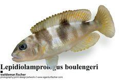 Stockfotos Lepidiolamprologus boulengeri