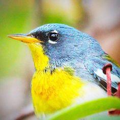 BIRDS! — Northern Parula #northernparula #parula #woodshole...