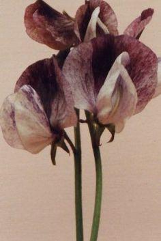 Ærteblomst – Senator – Lathyrus odorata – Bjarne's frø og planter Planters, Plant, Window Boxes, Pot Holders, Flower Planters, Pots