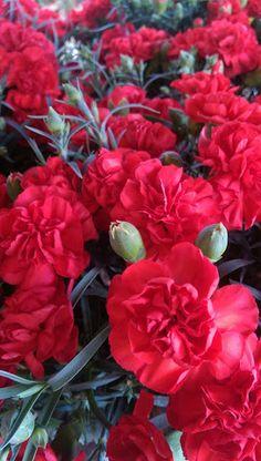 Shade Garden Flowers And Decor Ideas Cravos Vermelhos Exotic Flowers, Beautiful Flowers, Dianthus Flowers, English Garden Design, Home And Garden Store, Verbena, Shade Plants, Carnations, Shade Garden
