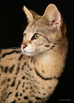 F1hybrids Savannah Cats - March 09, 2016-2.jpg
