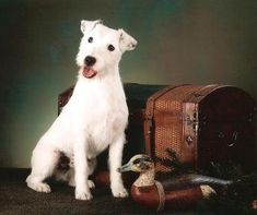 Fred the Parson Russell Terrier. Looks just like my Lilly!