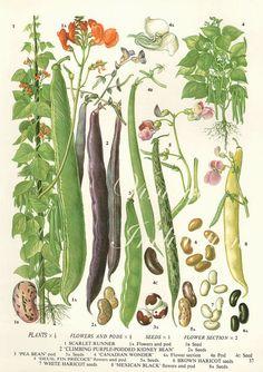 Vintage Botanical Print Antique BEANS 37, plant print botanical print, bookplate art print, vegetables plants plant wall