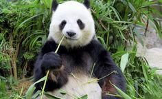 Αξιοπερίεργες ειδήσεις από όλον τον κόσμο με πρωταγωνιστές τις κότες, τα panda, τα βρέφη, το μέλι και την βροχή!Πώς συνδυάζονται όλα αυτά μαζί; ....