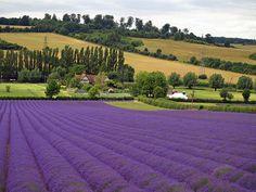 Castle Farm ( The Hop Shop ) - Lavender - Shoreham. Kent. England by GABOLY, via Flickr