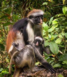 The Zanzibar Red Colobus Monkey #endangered