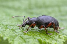 Weevil - Otiorhynchus clavipes by Heath McDonald on 500px