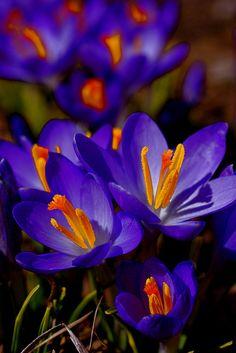 Spring Garden Royalty - Crocuses