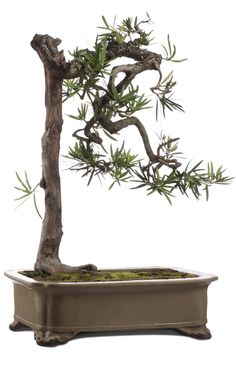 http://www.sothebys.com/es/auctions/ecatalogue/2014/living-sculptures-art-bonsai-hk0551/lot.5.html