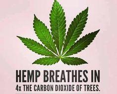 Perry: Is er al eens onderzocht hoeveel CO2 wietplanten kunnen opnemen?