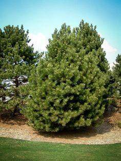 japanese black pine thunderhead