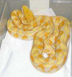 Python - Burmese - Lavender morph Reptiles And Amphibians, Burmese, Snakes, Python, Animal Kingdom, Noodles, Bean Bag Chair, Lavender, Kawaii