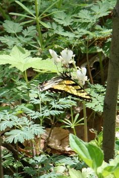 Eastern Tiger Swallowtail (Papilio glaucus) enjoying Squirrel Corn (Dicentra canadensis)