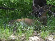 MYSLIVOST: Život v lese. U starších, zdatnějších jelenů tvorb... Kangaroo, Animals, Baby Bjorn, Animales, Animaux, Animal, Animais