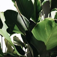Shades of green Green Leaves, Plant Leaves, Belle Plante, Plants Are Friends, No Rain, Green Plants, Tropical Leaves, Go Green, Shades Of Green